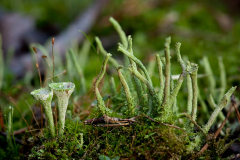 Ugyeri erdő - gombák - zuzmók